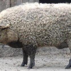 Arnaque au Halal : 30% des moutons vendus en France sont des porcs laineux autrichiens