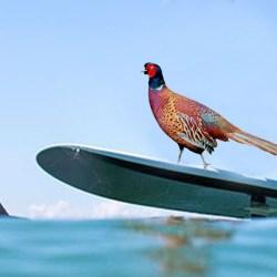 CHASSE : une formation obligatoire pour apprendre à différencier un surfer d'un faisan