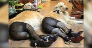 Chiens prostitués : enquête sur le proxénétisme canin en France