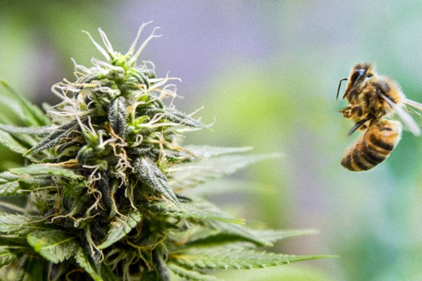 Le succès de son miel bio était dû à la plantation de cannabis de son voisin