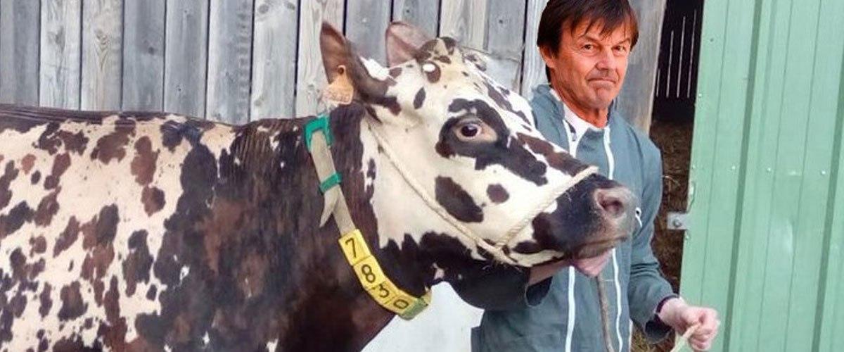 Nouveau scandale : l'association L214 révèle une vidéo d'une vache à Hulot