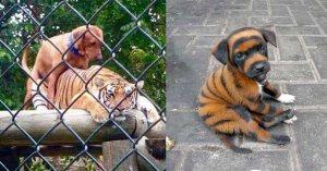 """Le premier """"chien-tigre"""" est né au zoo de Beauval"""
