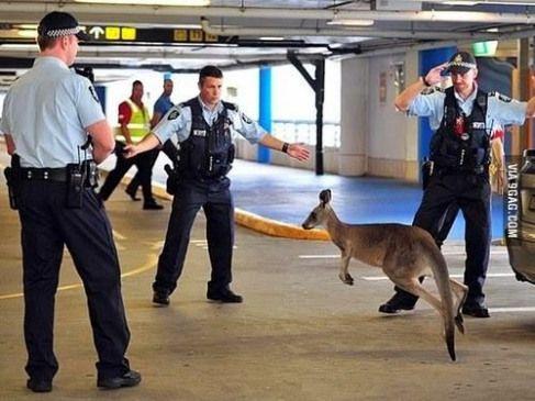 kangourou-police Australie : le kangourou pyromane enfin arrêté !