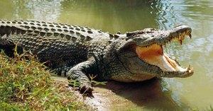 La nature reprend ses droits : un crocodile aperçu dans le Tarn