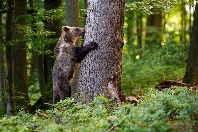 ours-arbre Chasse à la glu : de nombreux ours pris au piège dans les Pyrénées