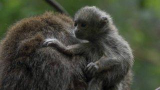 Titi Monkey at the Bronx Zoo
