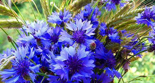 Legend of the plant cornflower  Interesting facts about