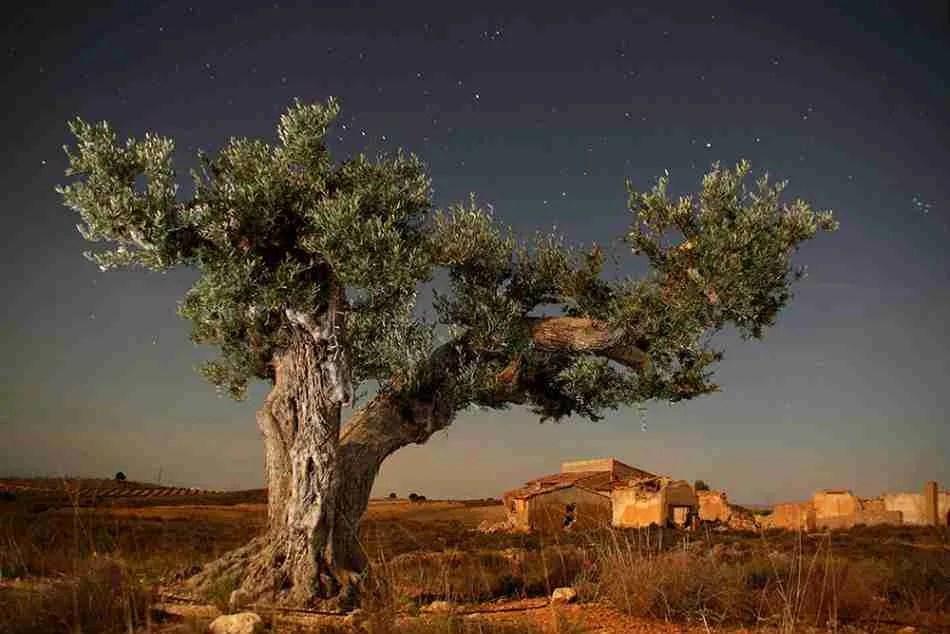 Los poetas cantan al olivo