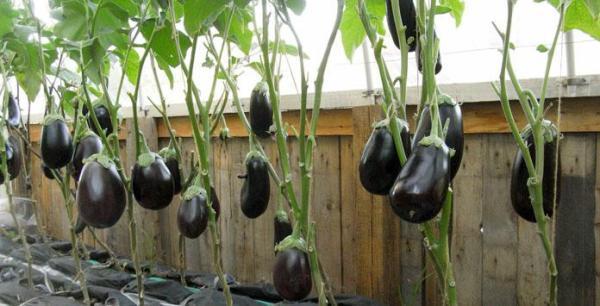 Баклажаны: выращивание у ход в теплице, сорта и рассада