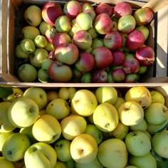 pommes de notre verger 2018