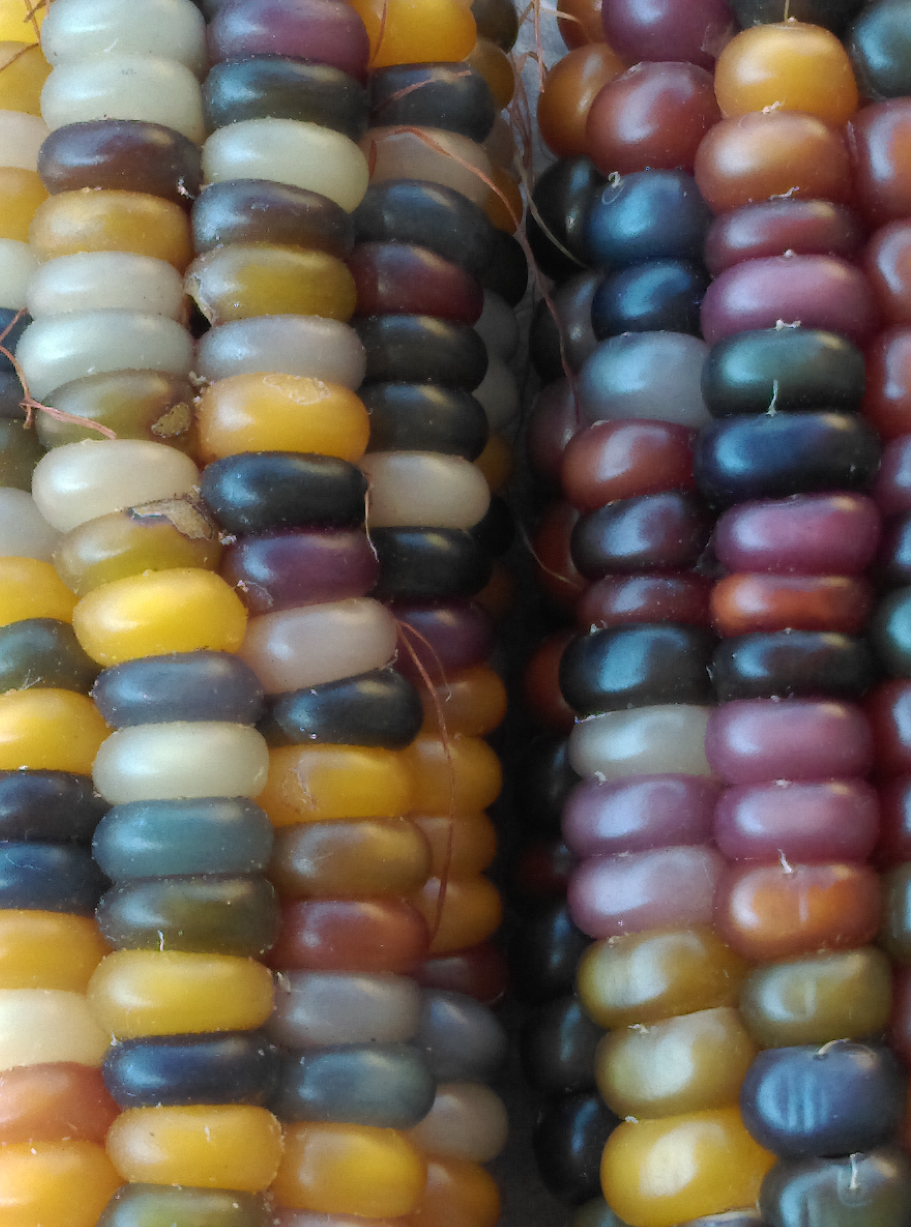 Glass Gem Corn Secret Seed Cartel