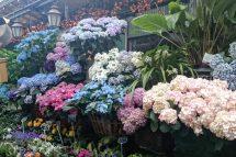 flower market hydrangeas