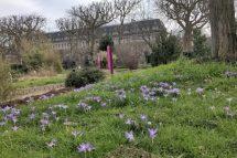 crocuses jardin des plantes