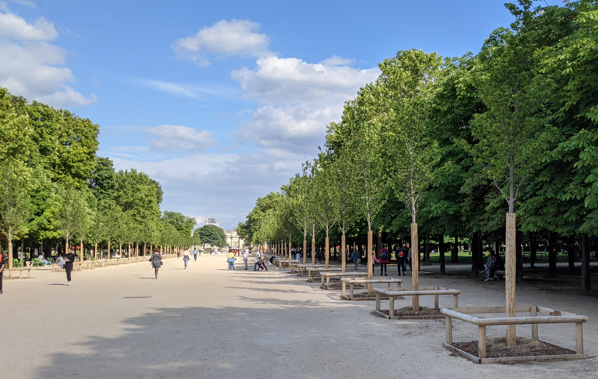 rows of new elm trees in the Grande Allée.