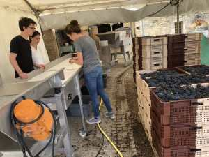 grape harvest burgundy