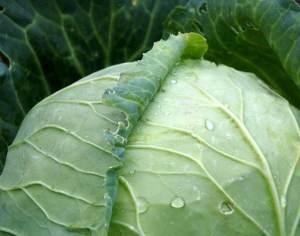 диета из капусты
