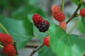 Perennial plants: mulberry
