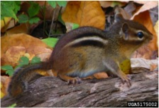 Chipmunk Control | UGA Cooperative Extension