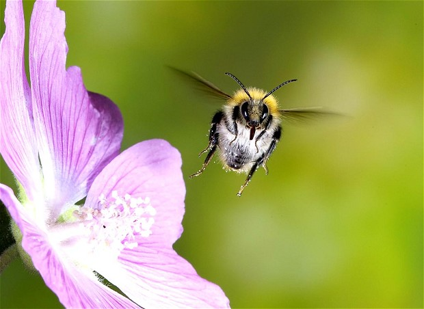 Garden flowers evolved velcro petals to help bees cling on   Telegraph Garden flowers have evolved velcro like petal surfaces to help bees in the  breeze  a study has found
