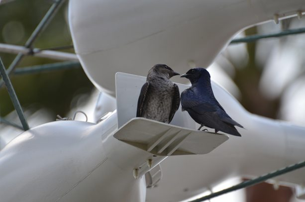 Purple Martin at Walt Disney World Resort