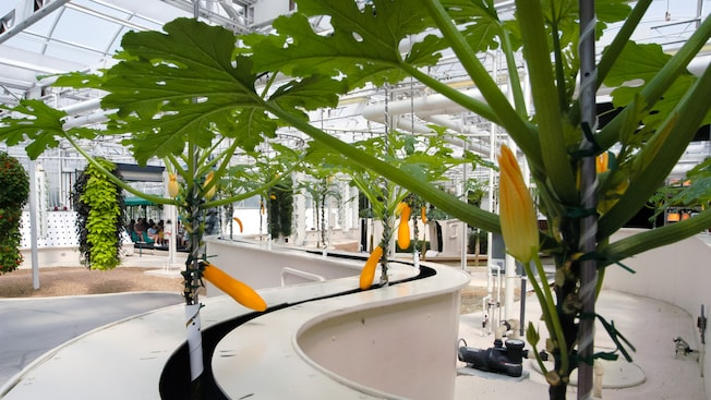 Squash plants, some with blossoms and fruit, growing hydroponically