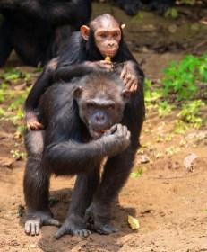 Tchimpounga Sanctuary, Congo