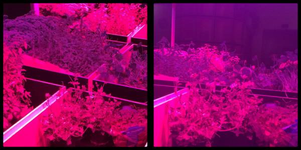 Herbs under grow lights in teh Noma kitchen. Noma. Copenhagen. Denmark