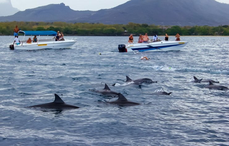 Swimming With Dolphins In Le Morne Mauritius Stock Image