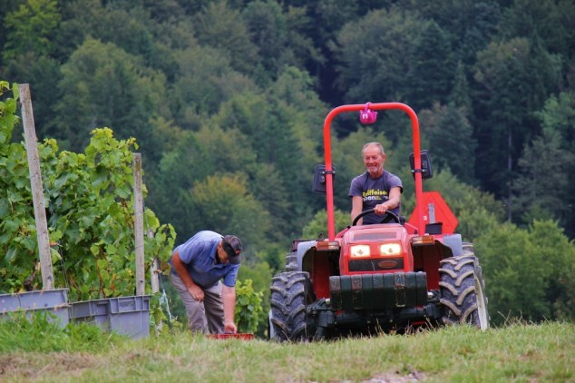 Tractor and worker collect grapes at harvest to make Slovenian Wine