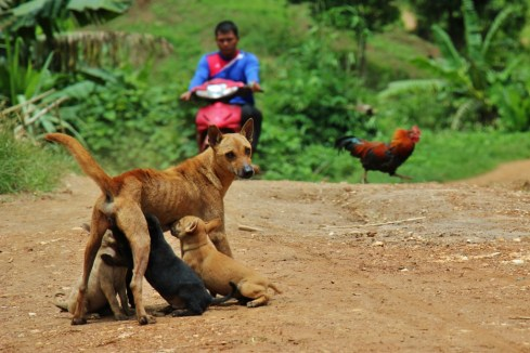 Dog feeding puppies on street in Ban Houy Pha Lam village, Laos