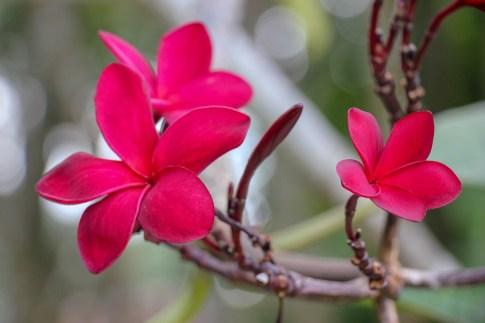 Pink plumeria flowers at Perdana Botanical Garden in Kuala Lumpur, Malaysia