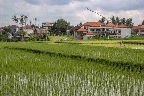 Rice fields in Canggu, Bali, Indonesia