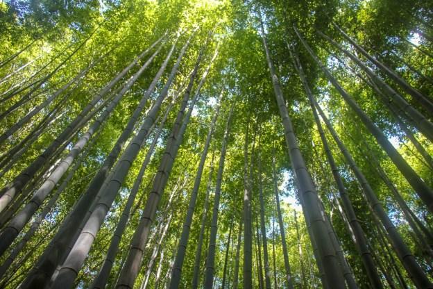 Bamboo grove in Arashiyama in Kyoto, Japan