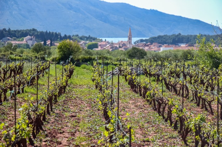 Vineyards in the Stari Grad Plain on Hvar Island, Croatia