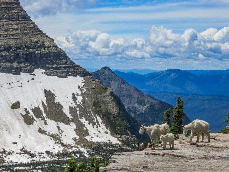 Making Friends with Hidden Lake Mountain Goats, Glacier National Park, Montana