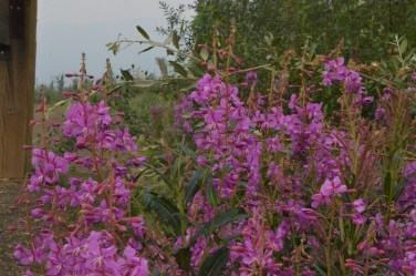 Fireweed flowers open starting at the bottom of the stem and work their way upwards, then they turn to seed pods and eventually fluff rather like a dandelion.