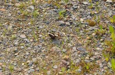 Brown butterfly resting in the trail.