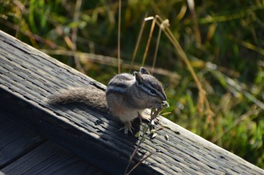 This chipmunk was pretty unconcerned with my presence and was working his way along this stem of grass.