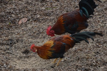 Wild chickens on the beach