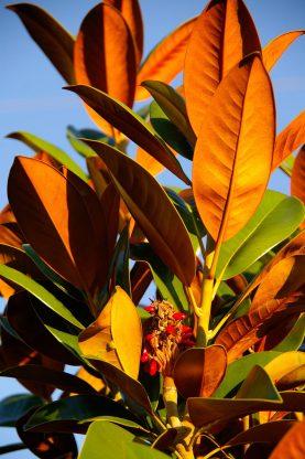 magnolia-432804