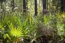 Palmettos and Pine Forest; Skye Development Co.