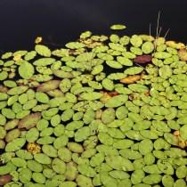 Water Lilies; Skye Development Co.