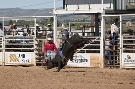Cowboy bull rider rodeo competition with a a bull springing to throw off the cowboy
