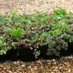 Sedum_modular or S.Pod Tray ready for Green Roof