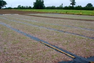 Sedum mats just laid out for Sedum Green Roof