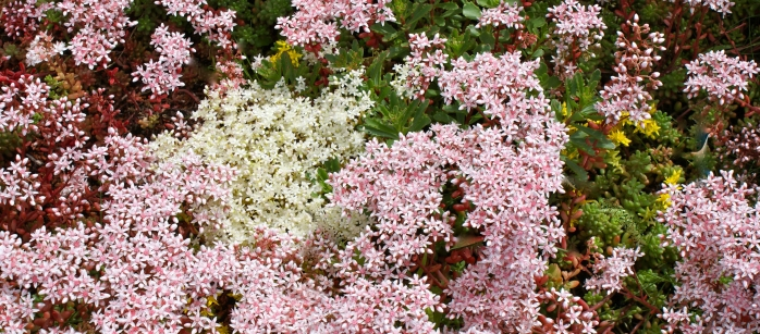 Sedum Green Roof