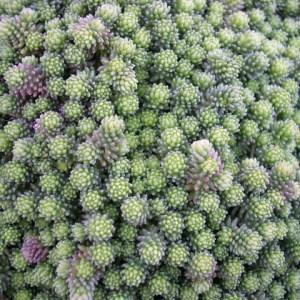 Sedum sexangulare - Succulent plant