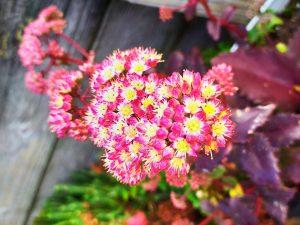 Splash of colour from our hardy sedum succulents
