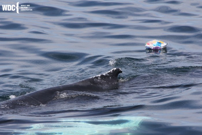 humpback with balloon.jpg