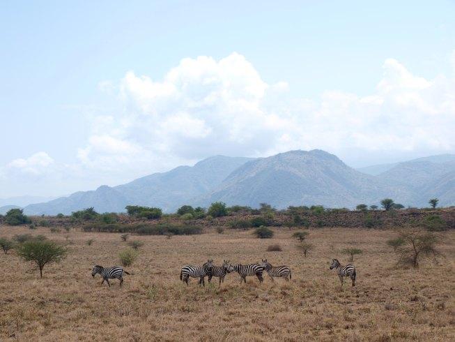 Nechisar Zebras